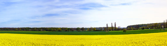 Beautiful wide panoramic view of colza field Stock Photography