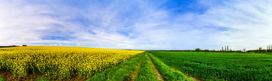 Beautiful wide panoramic view of colza field Royalty Free Stock Images