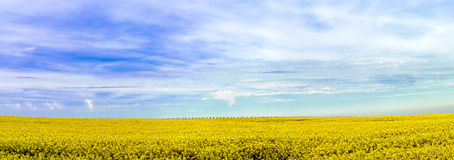 Beautiful wide panoramic view of colza field Royalty Free Stock Photo