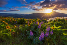 Beautiful widflower in sunrise Stock Images