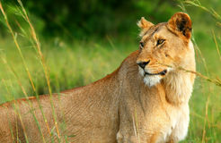Beautiful wild africam lioness Royalty Free Stock Photo