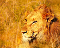 Beautiful wild african lion Royalty Free Stock Photography