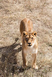 Beautiful wild african lioness. Lioness in the wild Royalty Free Stock Photos