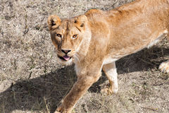 Beautiful wild african lioness. Lioness in the wild Stock Photo