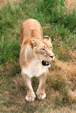 Beautiful wild african lioness. Lioness in the wild Stock Photography