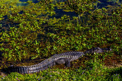 Wild Alligator in Brazos Bend State Park, Texas. Royalty Free Stock Image