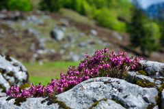 Beautiful Wild Alpine flowers between the rocks. Close up photo of alpine flowers stock photo