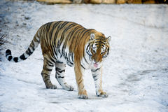 Beautiful wild amur tiger on snow Royalty Free Stock Photography