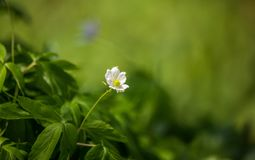Beautiful wild anemone flowers growing in a garden. Spring flower in forest. Closeup of a spring flower in natural habitat stock images