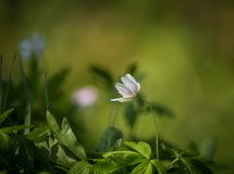Beautiful wild anemone flowers growing in a garden. Spring flower in forest. Closeup of a spring flower in natural habitat royalty free stock photography
