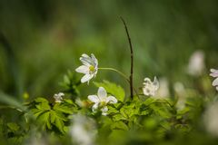 Beautiful wild anemone flowers growing in a garden. Spring flower in forest. Closeup of a spring flower in natural habitat stock photo