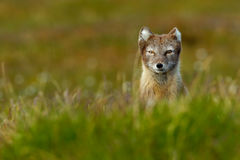Beautiful wild animal in the grass. Arctic Fox, Vulpes lagopus, cute animal portrait in the nature habitat, grass meadow with flow Royalty Free Stock Photos