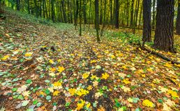 Beautiful wild autumnal forest with colorful fallen leaves Stock Image