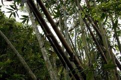Wild bamboos growing taiwan. Beautiful wild bamboos growing on the mountains in Taitung Taiwan Stock Photos