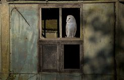Barn owl perched on a barn window Royalty Free Stock Image