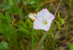 Beautiful wild bell-flower receiving visitor butterfly. Beautiful wild bell-flower (field bindweed) receiving visitor butterfly Stock Photography