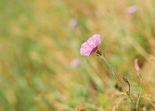 Beautiful wild bellflower Stock Photo