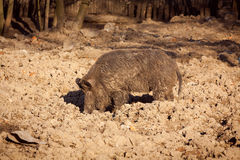 Beautifulwild boar seeks some food, wild swine , Eurasian wild Stock Photo