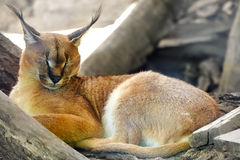 Beautiful and Wild Bobcat or lynx. Beautiful and Wild Caracal or Prairie lynx in its natural habitat Stock Image