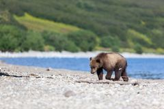 Lonely beautiful wild brown bear cub walking by the Kuril lake stock images