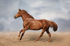 Beautiful wild brown horse galloping on sky Royalty Free Stock Photography