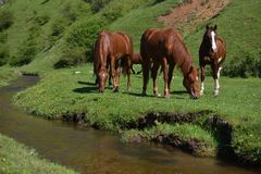 Beautiful wild brown horses eating on green grass field near mou. Ntain water stream Royalty Free Stock Photo
