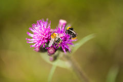 A beautiful wild bumblebee gathering honey from marsh thistle flower. Stock Image