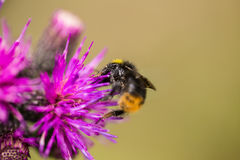 A beautiful wild bumblebee gathering honey from marsh thistle flower. Royalty Free Stock Images