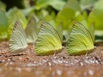 Beautiful wild butterfly on the ground,Butterflies swarm eats minerals in Ban Krang Camp, Kaeng Krachan National Park in Thailand