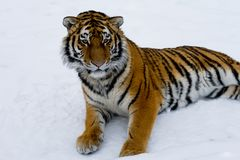 Beautiful wild cat lying on the snow and watching the prey. Wildlife. stock photography
