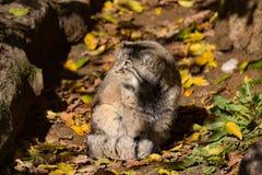 Beautiful wild cat, Pallas's cat, Otocolobus manul Stock Photo