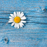 Beautiful wild chamomile flower on blue wooden background. Stock Image