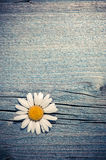 Beautiful wild chamomile flower on blue wooden background Stock Photography