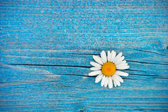 Beautiful wild chamomile flower on blue wooden background Stock Photo