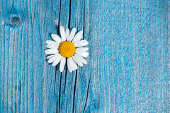 Free Beautiful Wild Chamomile Flower On Blue Wooden Background Stock Photography - 44262042