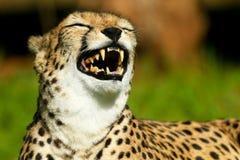 Laughing cheetah royalty free stock image