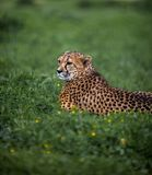 Beautiful Wild Cheetah resting on green fields. Close up Royalty Free Stock Images