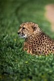 Beautiful Wild Cheetah resting on green fields Royalty Free Stock Images