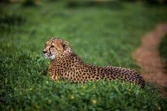 Beautiful Wild Cheetah resting on green fields Stock Image