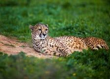 Beautiful Wild Cheetah resting on green fields, Close up Stock Photos