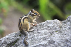 Beautiful wild chipmunk Stock Images