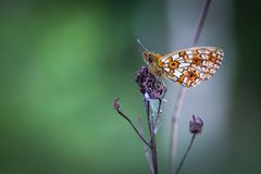 Beautiful wild colorful  butterfly resting on plant. Insect macro Stock Image