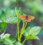 Beautiful wild colorful  butterfly resting on plant Royalty Free Stock Photo