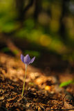 Beautiful wild crocus, Colchicum autumnale, flowers in a mountain forest Royalty Free Stock Photo