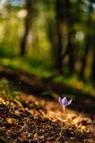 Beautiful wild crocus, Colchicum autumnale, flowers in a mountain forest Royalty Free Stock Photos