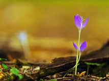 Beautiful wild crocus flowers in a mountain forest Stock Image