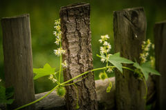 A beautiful wild cucumber wine on a fence Stock Photo