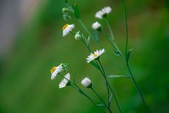 Beautiful wild daisy flowers with blurred green background. Chinese wild Daisy is a kind of herb. The Daisy Tea is rich in aroma and refreshing,which also helps Royalty Free Stock Image