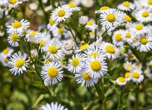 Beautiful wild daisy Stock Images