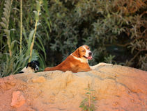 Beautiful wild dogs Stock Image